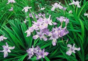 郡山市の花.jpg